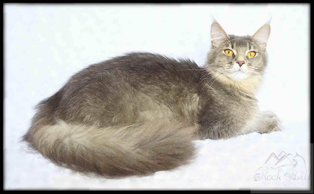 Rock Hill Maine Coon's Noelle