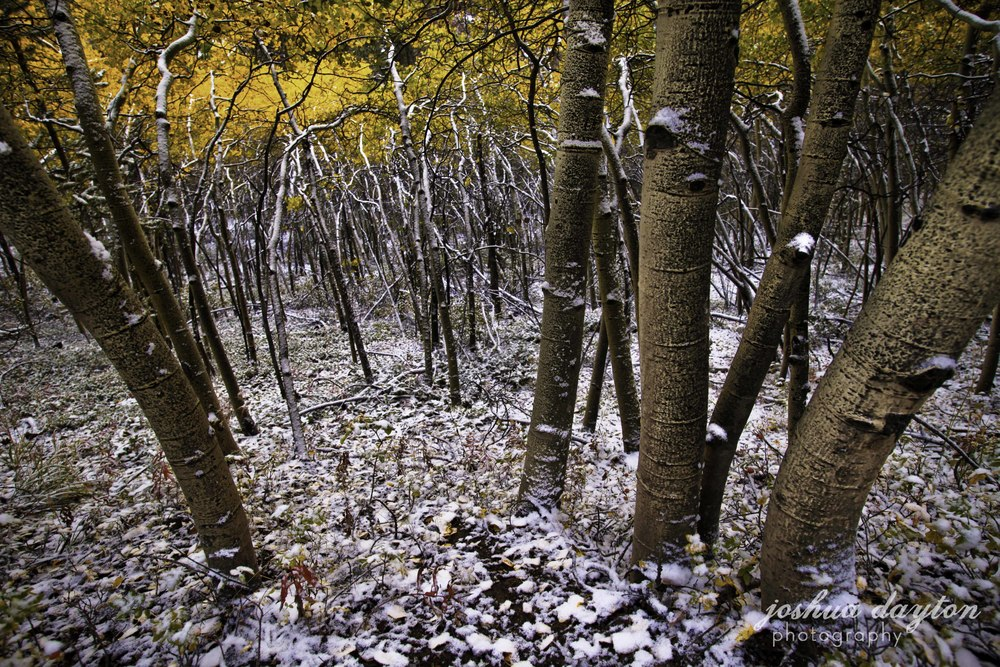Aspens in early snow