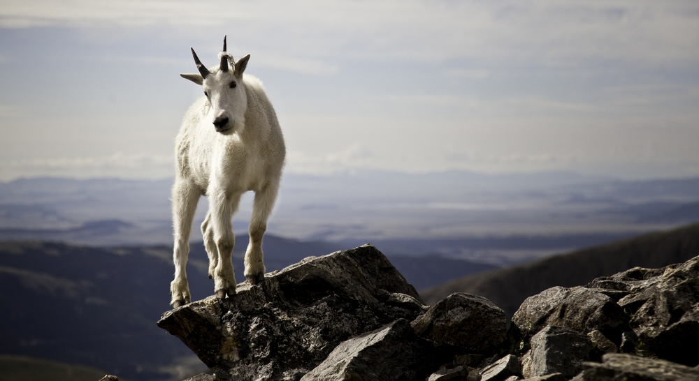 Mountain Goat on Quandary