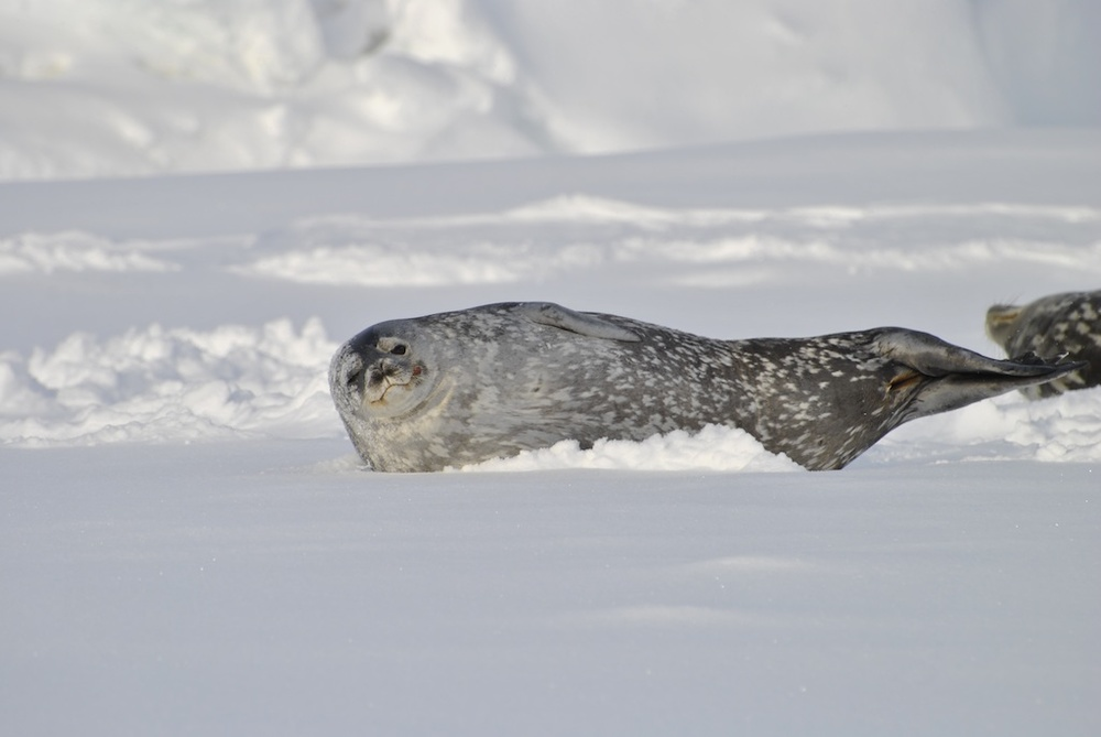 Weddell_Seal_Colbeck_Emp_Colony9_redux.jpg