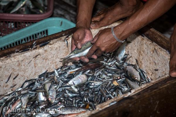 Sorting_fish_bagan.png