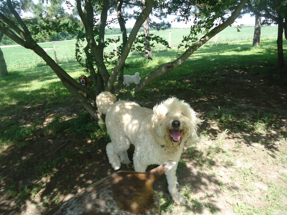 This big guy is Charlie, a golden doodle with a wild and lovable personality!