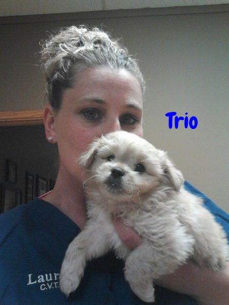 Trio is aneutered male8 week old Pekingese mix that shortly after birth lost a hind leg- you would never know it though! Trio gets around just fine and acts like any other puppy! If you think you would be interested in adopting Trio please contact Nancy at Pet Projects Rescue 952-200-2884!