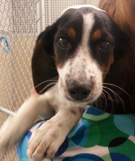 Male Beagle Mix Pup