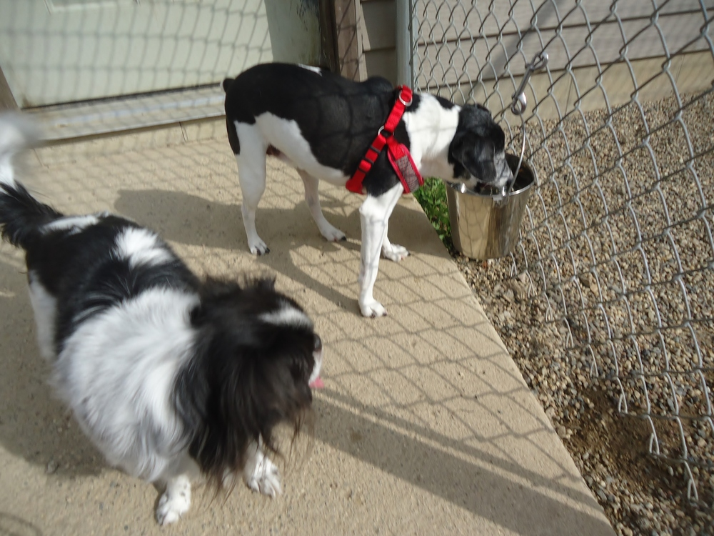 The little munchkin on the left is Jazzy, an 8 yr old Japanese Chin. Sweet Taz is on the right, Taz is a 13 year old rat terrier.