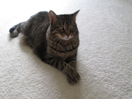 Tabitha DSH spayed female 8 years old