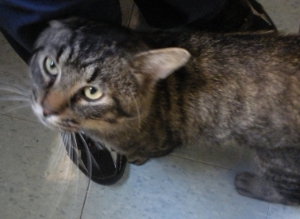 Adult Male DSH Tabby- very friendly- please contact Countryside at 507-645-4522 to reclaim or if interested in adopting.