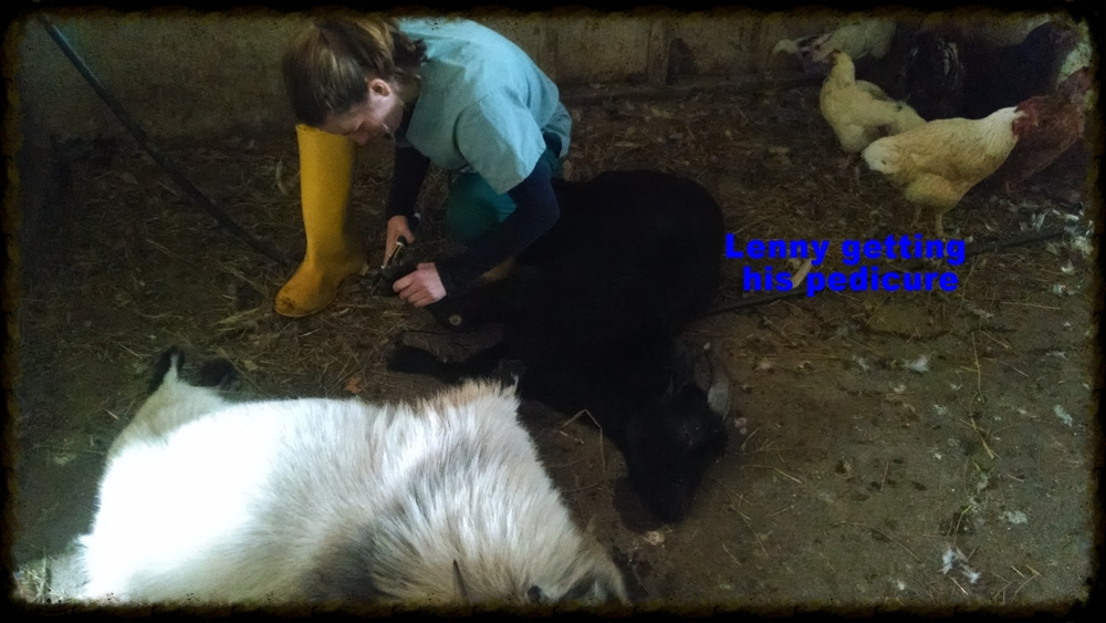 Lenny the black goat getting his hooves trimmed up! He and his friend Olie were a bit energetic so they had to be sedated first.