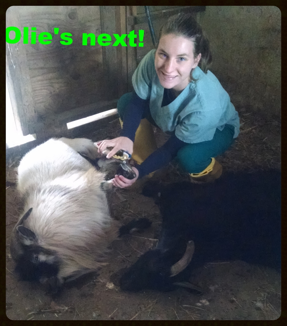 Olie the goat getting his hooves trimmed!