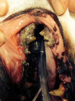This is a picture of a 10 year old terrier that has severe periodontal (mouth) disease. There is a lot of hair mixed in with the tartar on these teeth as well!! A dental was definitely needed!