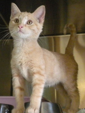Orange Tabby. DSH. Aprox 10 weeks old. Intact Female. Very Playful!
