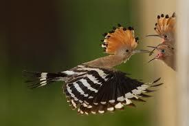 Eurasian HoopoeUpupa epops