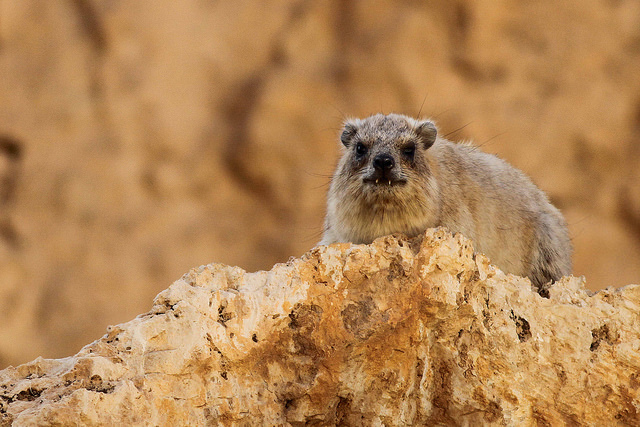 Rock Hyrax - Photo by Paul French
