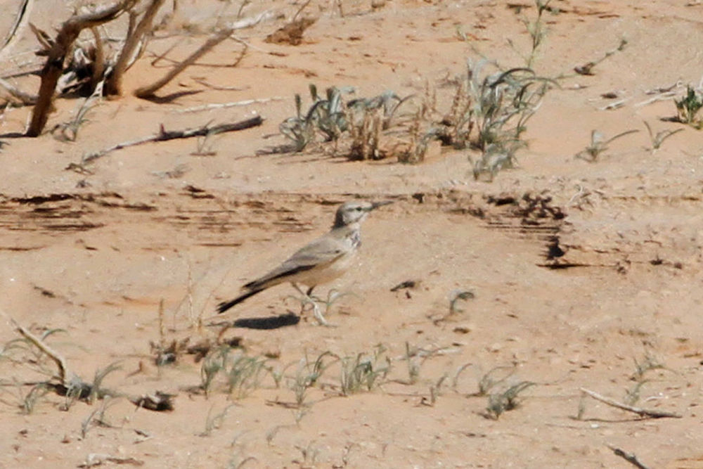 Hoopoe Lark - Photo Paul French