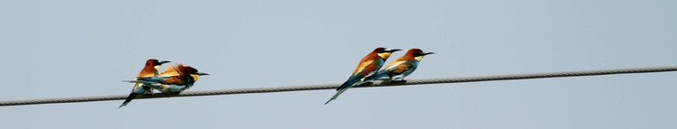 European Bee Eaters - photo Paul French