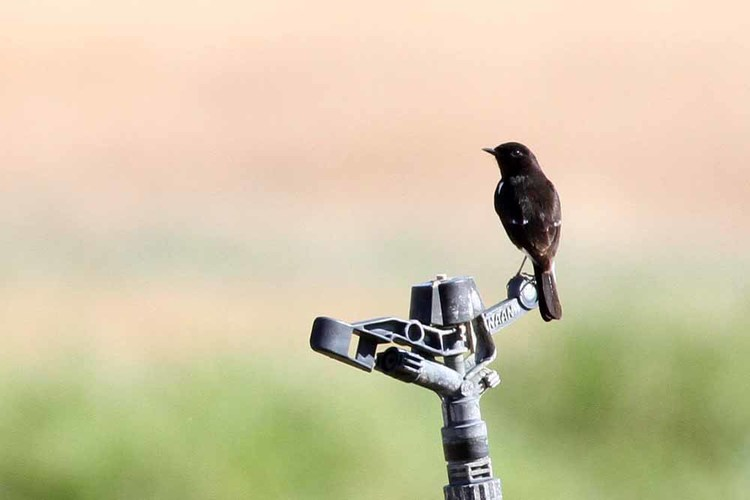 Pied Bush Chat on an irrigation sprinkler at Neot Samadar - photo by Paul French