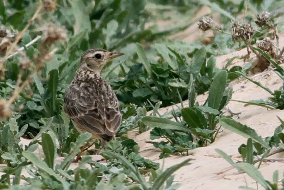 Oriental Skylark - Photo by Paul French