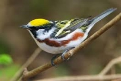 chestnut-sided.jpg