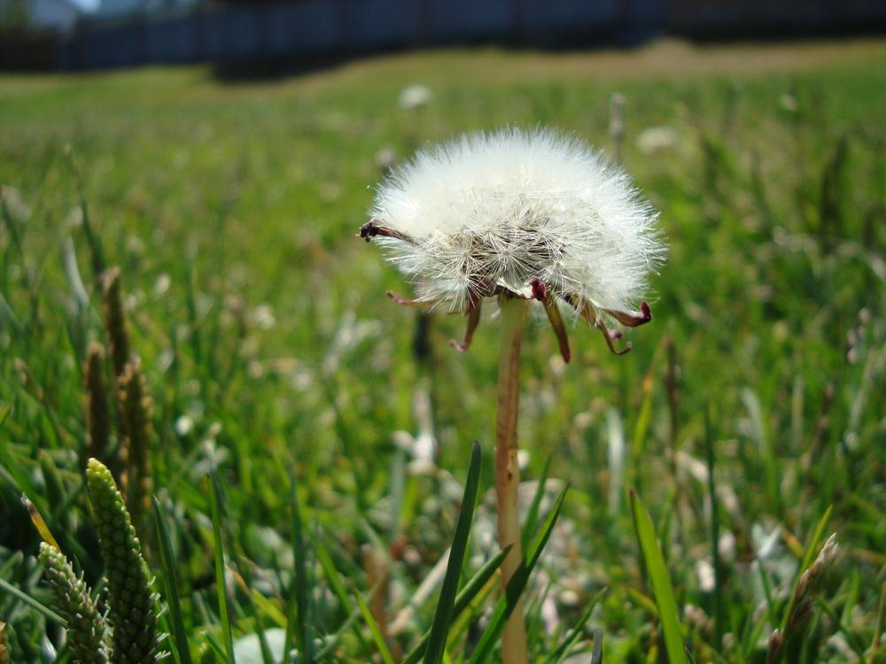 Dandelion Dreams - Grade 10