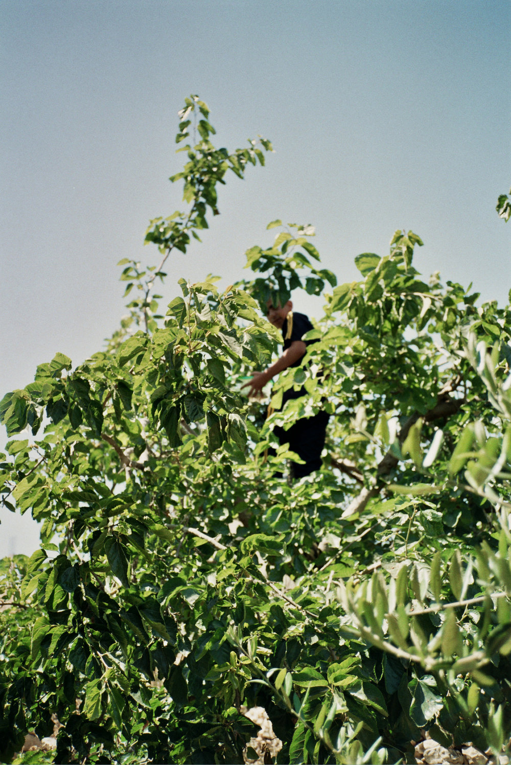 my cousin picking mulberries in our village in the occupied west bank, 2013