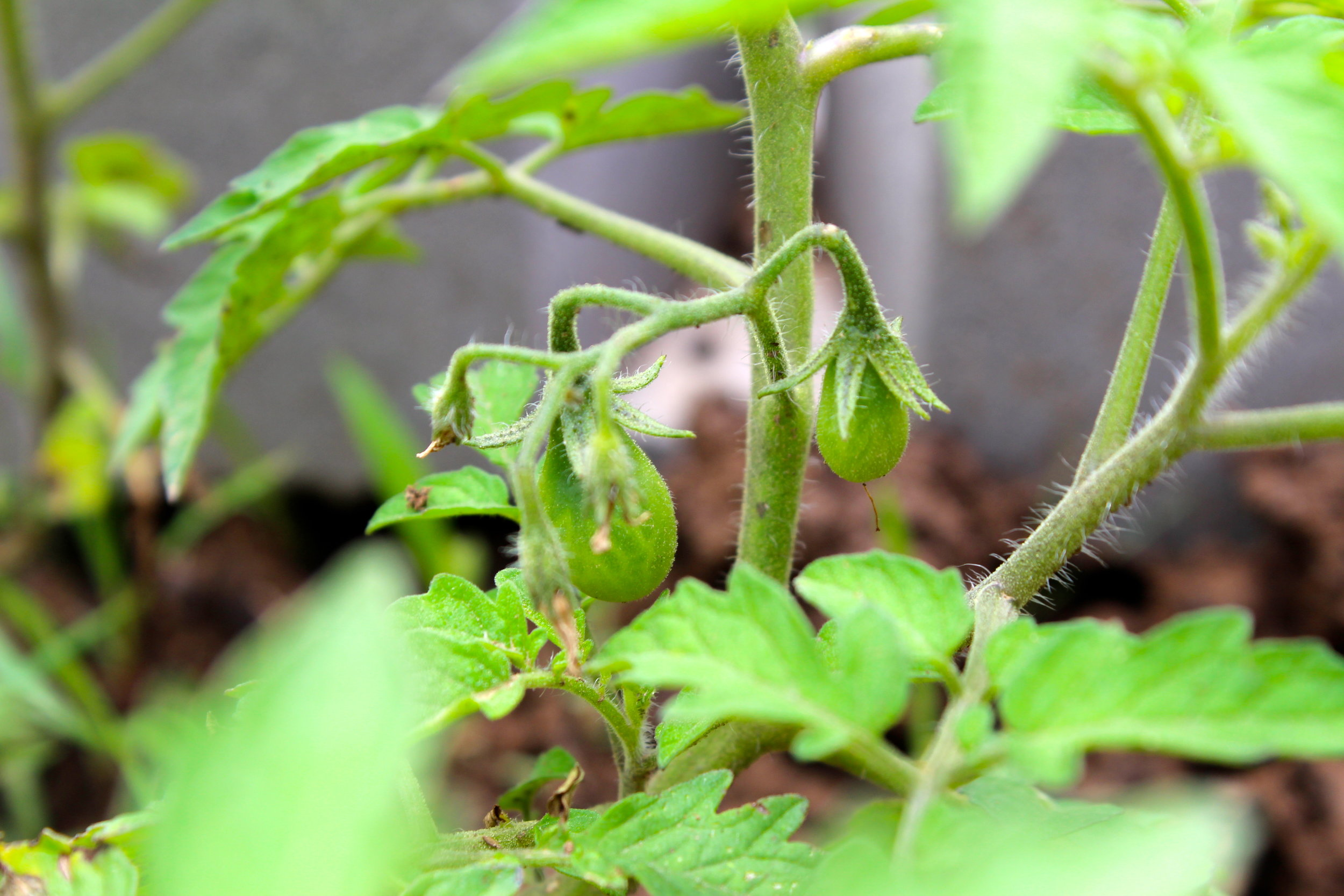 blooming tomatoes