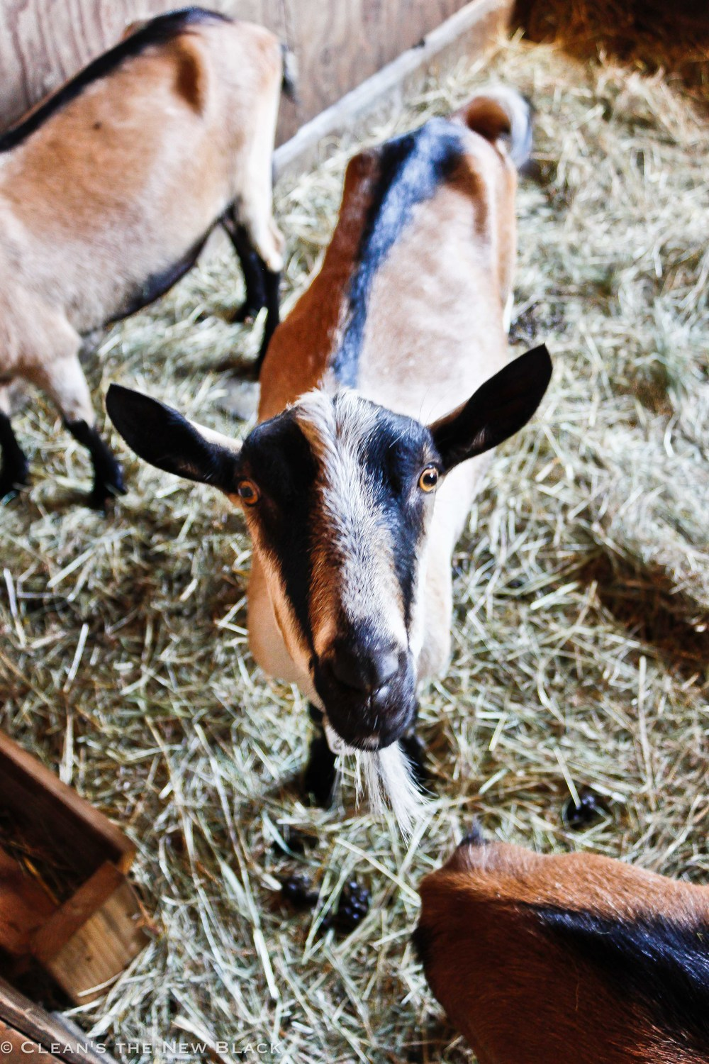 A Goat from Skamokawa Farmstead Creamery. Taken By Teddy Townsend