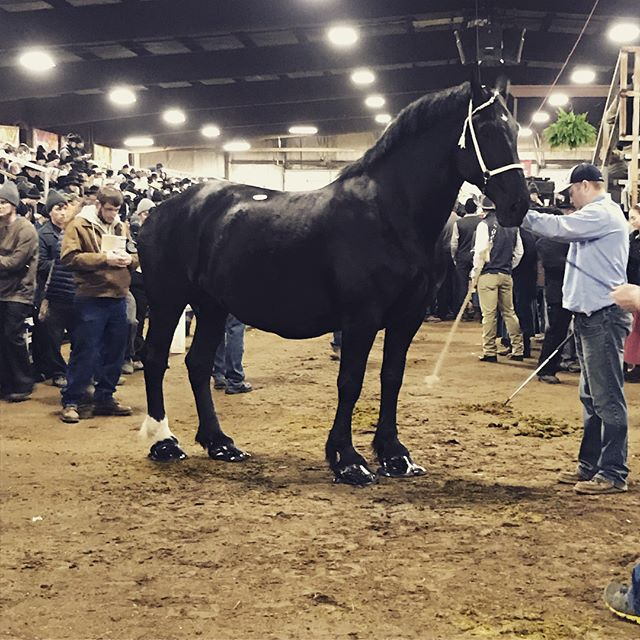 MidAmerica Draft Horse Sale, taking place at Gordyville right now! Off to a great start, we have some really outstanding horses here this week! #midamericadrafthorsesale #drafthorse #belgiums #stallion #geldings #percheron