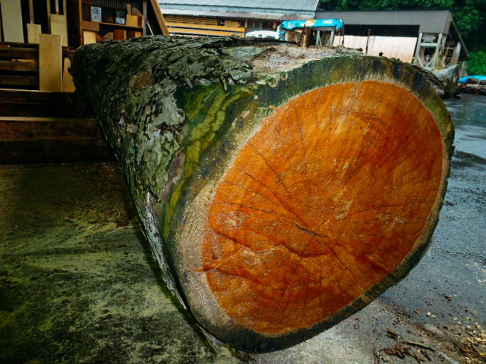 五百年的銀杏,主要幾乎都剩下心材的木質部。