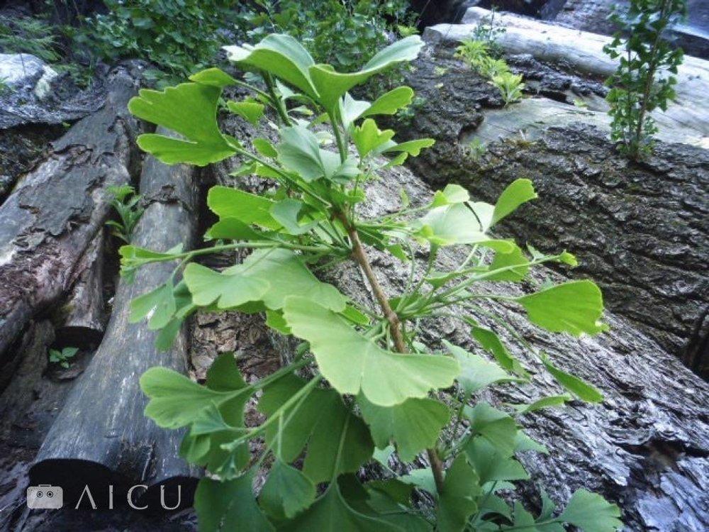 放置在乾燥場的銀杏樹長出的銀杏葉。