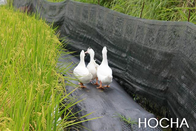 鴨間稻的無毒種植已經是許多農友採取的友善種植方式