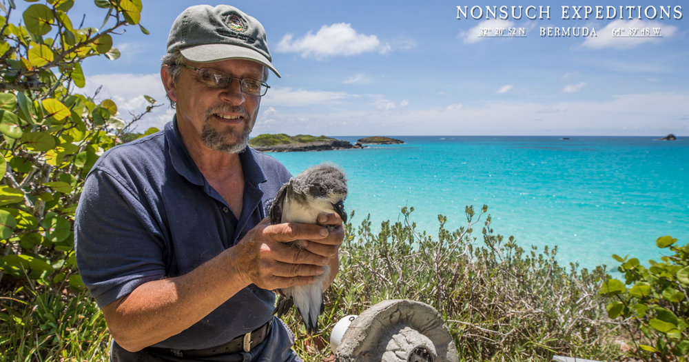 Jeremy Madeiros examines Sunny the 6th CahowCam Star, a few hours before he fledged out to sea.