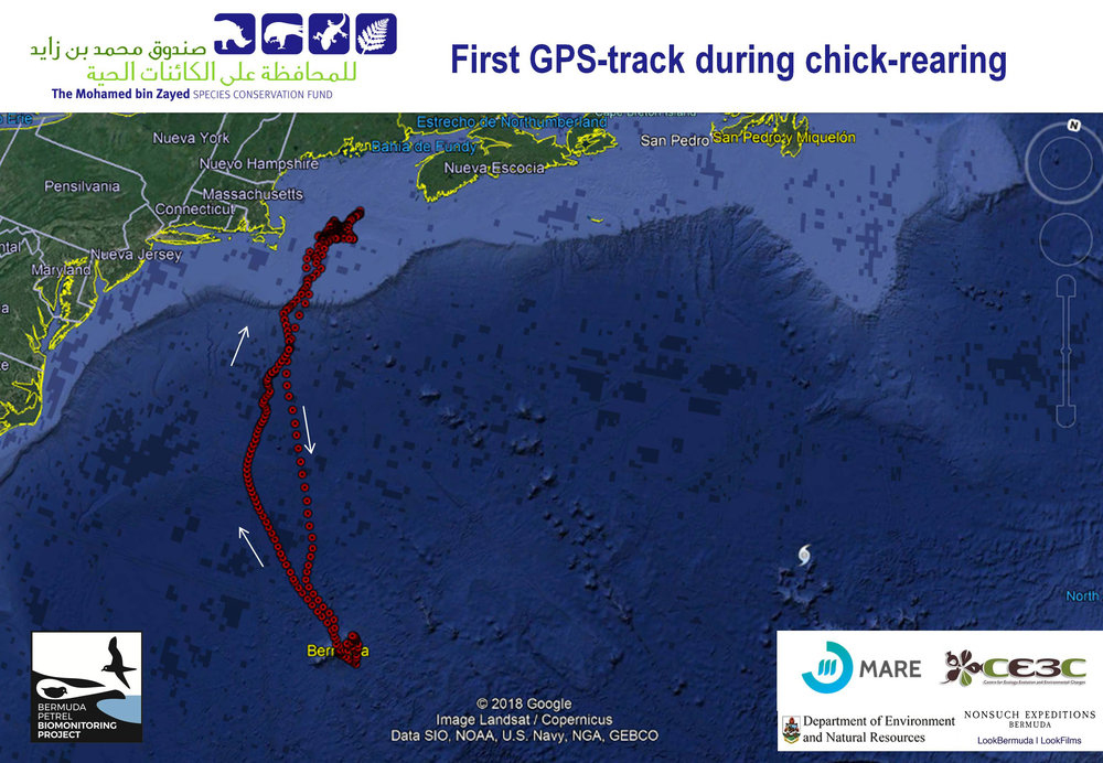 First_gps_track_pterodroma_cahow2019.jpg