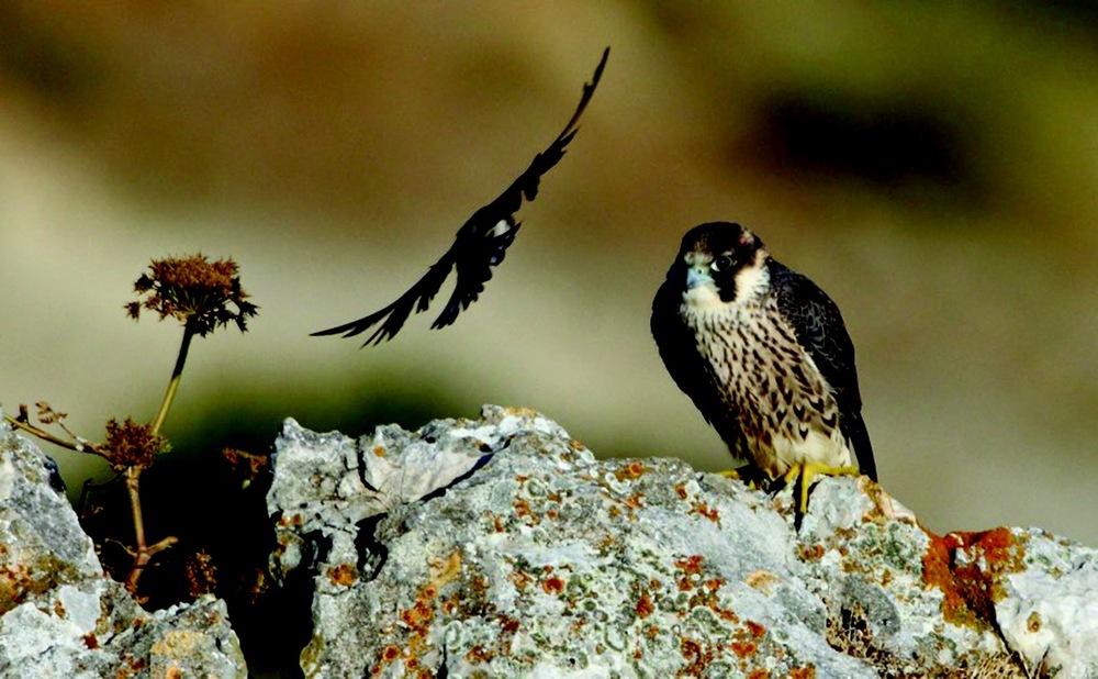 Crag Falcons