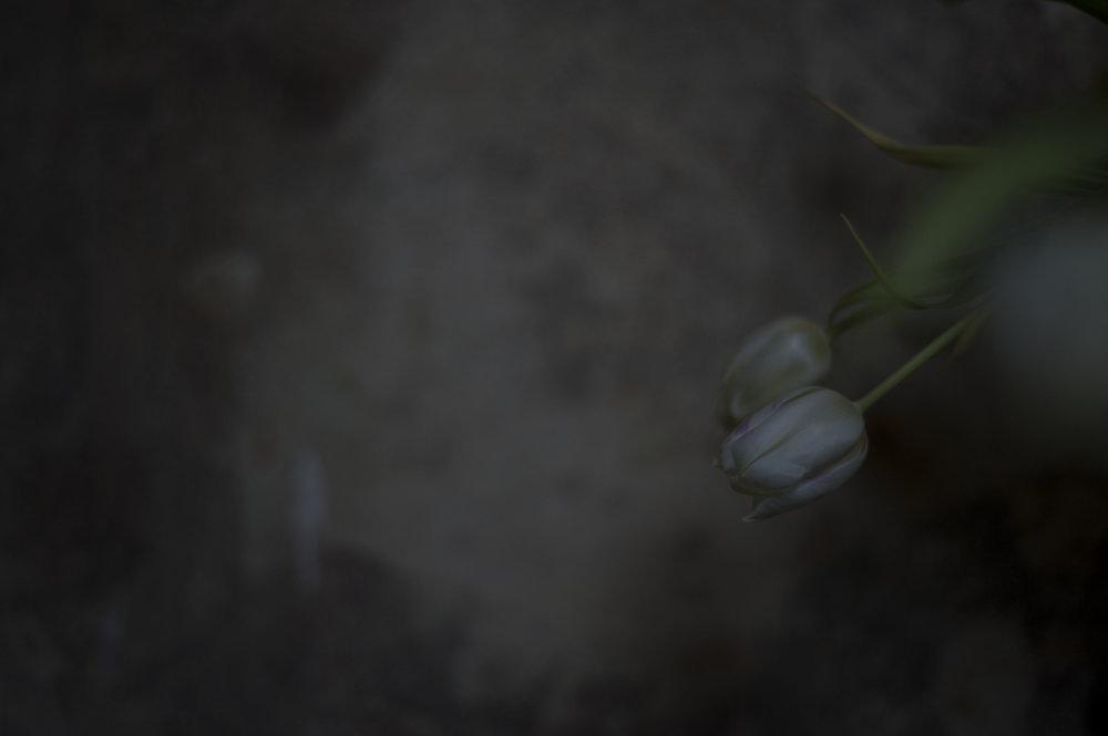 Tulpen_19.JPG