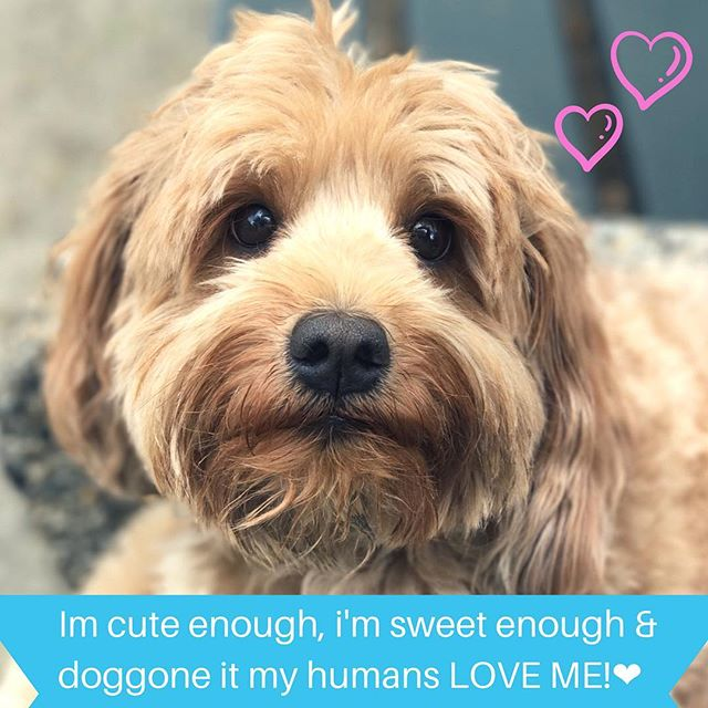 Monday Doggie Affirmations by this sweet girl, Kimchee. We have a special place in our heart for Kimchee, as part of the doodle gang she's a long standing City Dog Strutter. Hope this clears the Monday blues. Another amazing photo walker Jenni!! @woooooflyn_