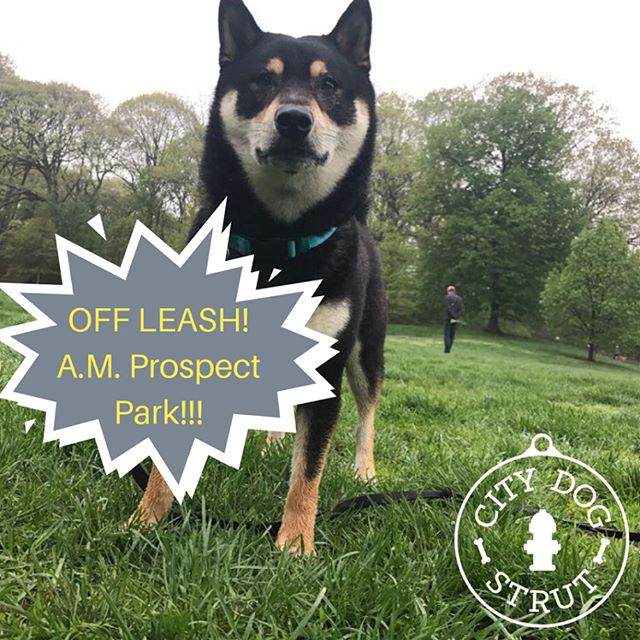 🐕🐩🐾Aki & Milo are loving going to Prospect Park off leash hours with their walker Dany! City Dog Strut dog walking offers early morning pick up for dogs to go to Prospect Park!! Swipe right to see more photos and video!🐶🐾