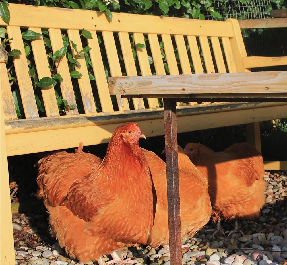 hens-winter.jpg