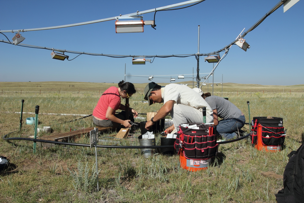Final plant biomass harvest in July 2013 at the PHACE site, High Plains Grassland, USDA - with David Augustine, a USDA ARS researcher and collaborator on the PHACE project.