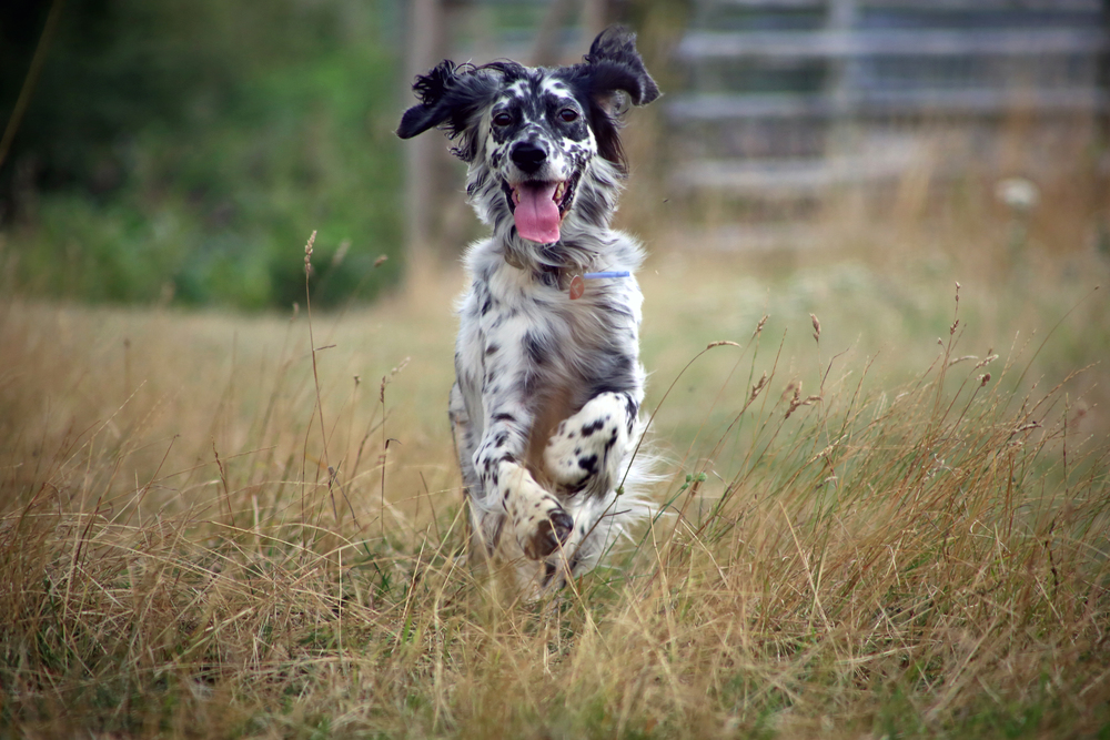 English_Setter_running_through_grass.jpg