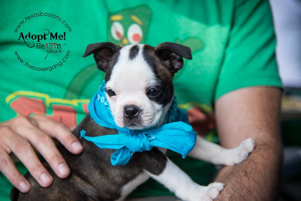 Boston Rescue Puppy