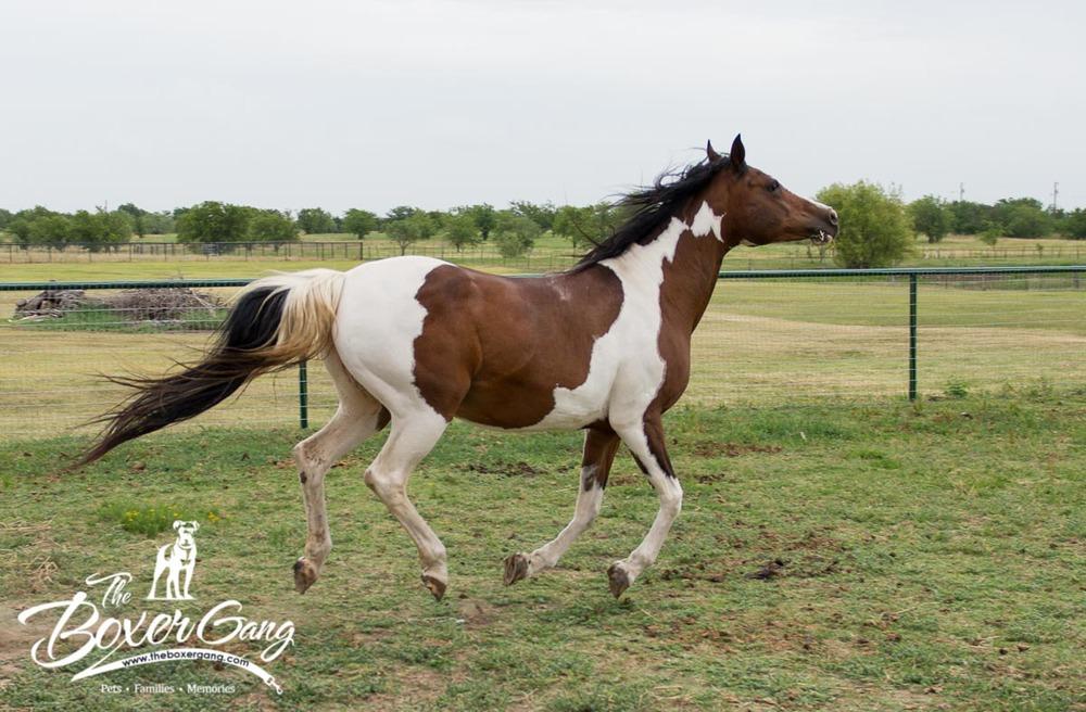 Arabian jumping for joy, cute pet