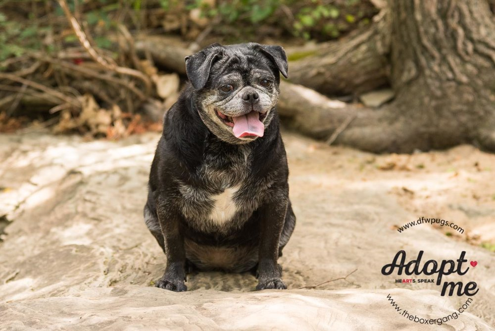DFW Pug Foster Juicy-2.jpg