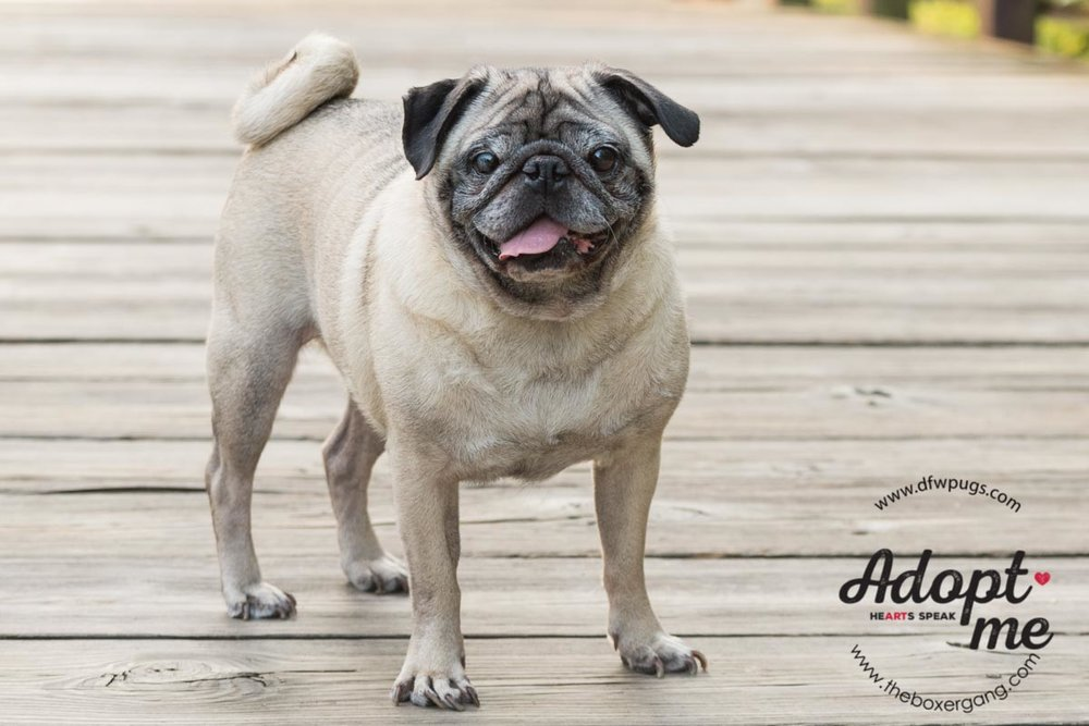 DFW Pug Rescue Mr. Cho-1.jpg