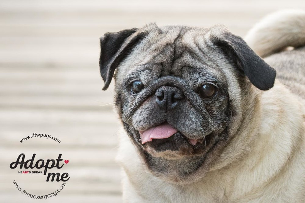 DFW Pug Rescue Mr. Cho-3.jpg