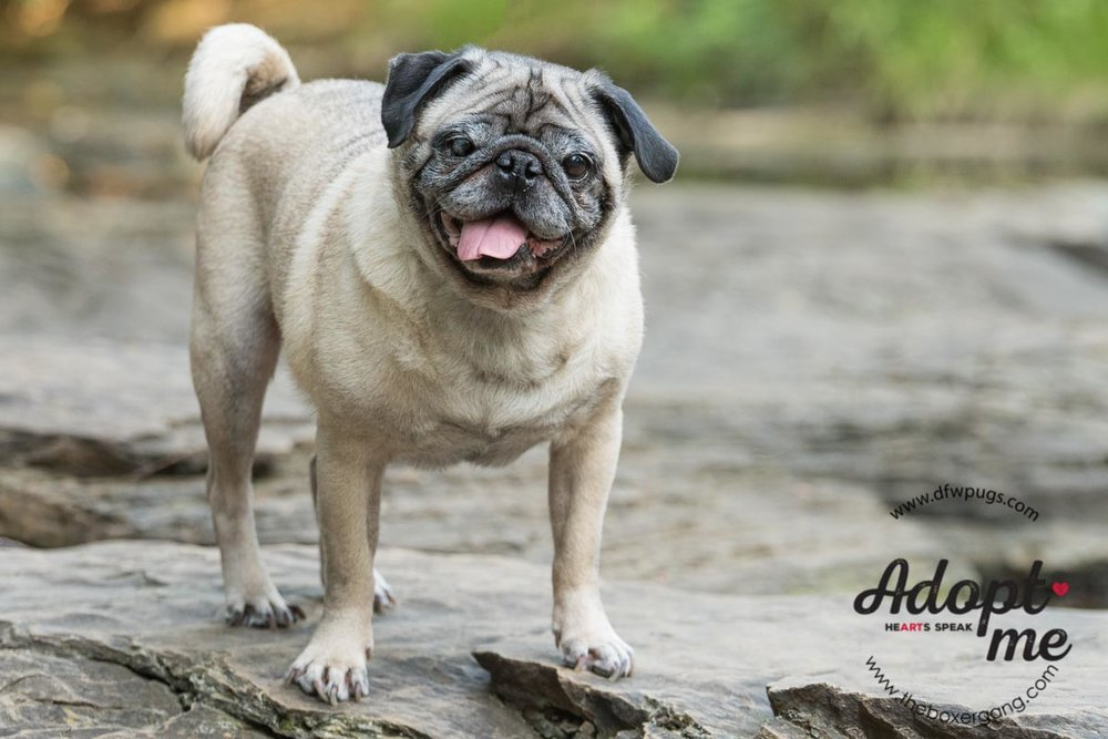 DFW Pug Rescue Mr. Cho-4.jpg