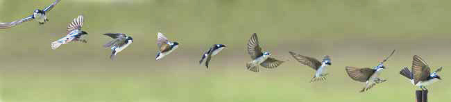 Flight pattern of the tree swallow approaching a landing. Photo credit: http://people.eku.edu/ritchisong/554notes2.html