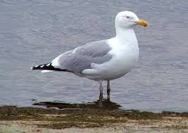 Herring Gull of the coast of Massachusetts. Photo credit:   www.bittsandbytes.net
