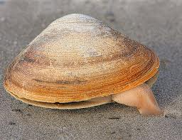 Quahog using its foot to move across the ocean's floor