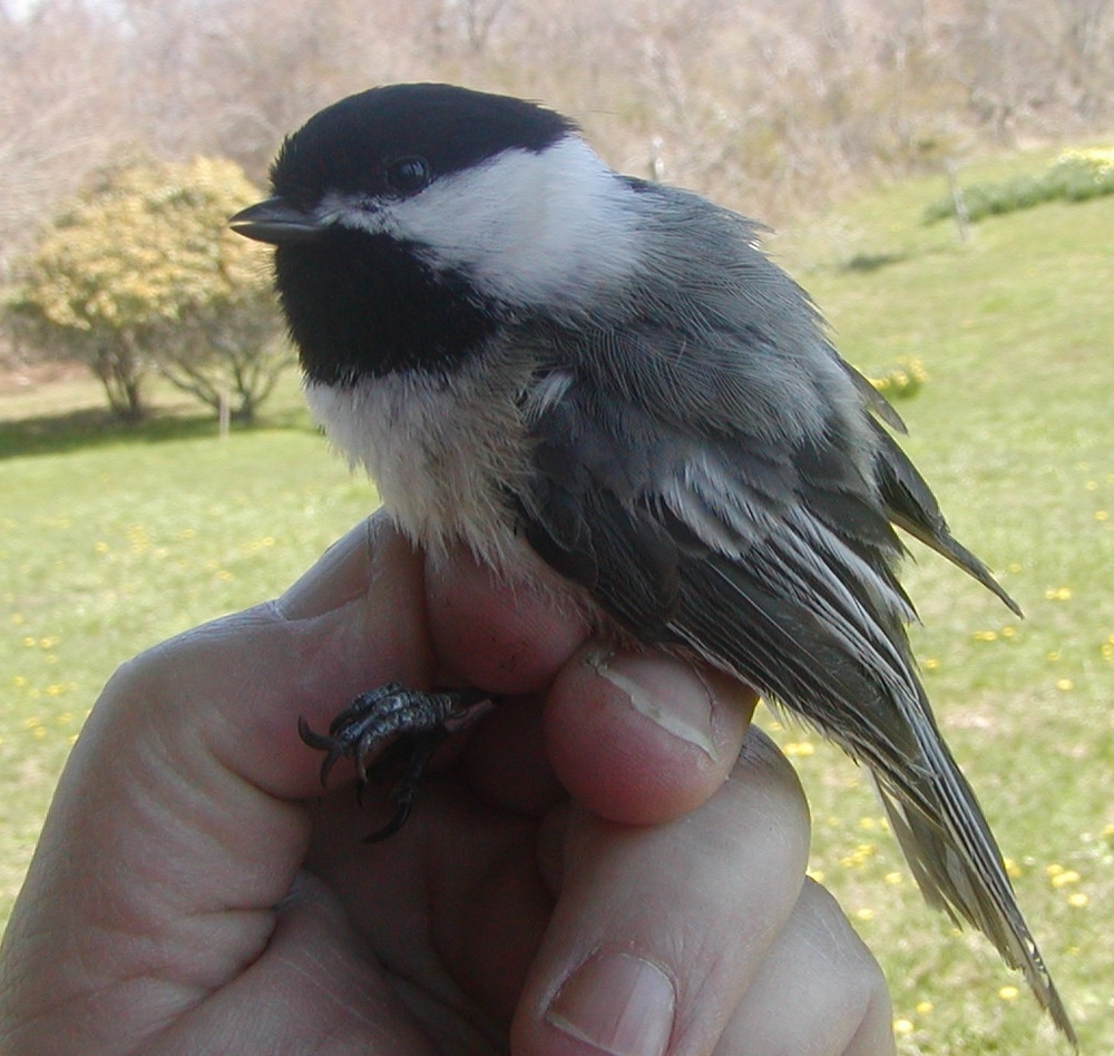 Ten year old Black-capped chickadee - an old friend.