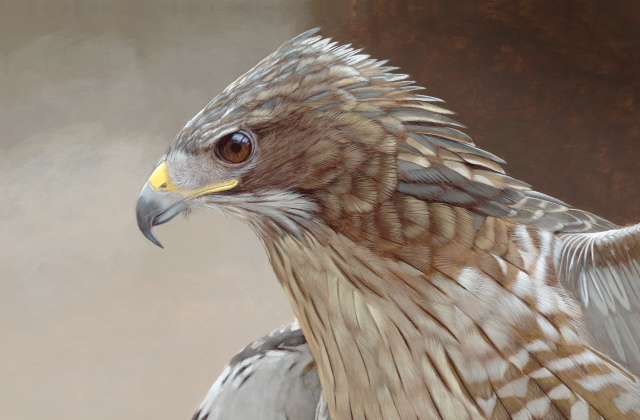 red tail hawk .jpg